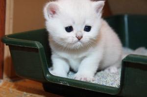 Как приучить кота к лотку